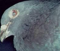 鸟类的腺病毒至少有12个血清型,但目前在病鸽身上分离到的只有第八型