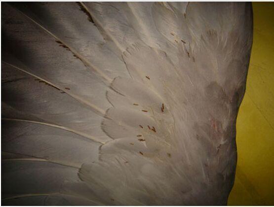 【鸽病连载】赛鸽体外寄生虫羽虱螨虫的防治