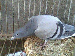 鸟类鸽狮子鸟鸽子320_240清远动物湖v鸟类基地图片