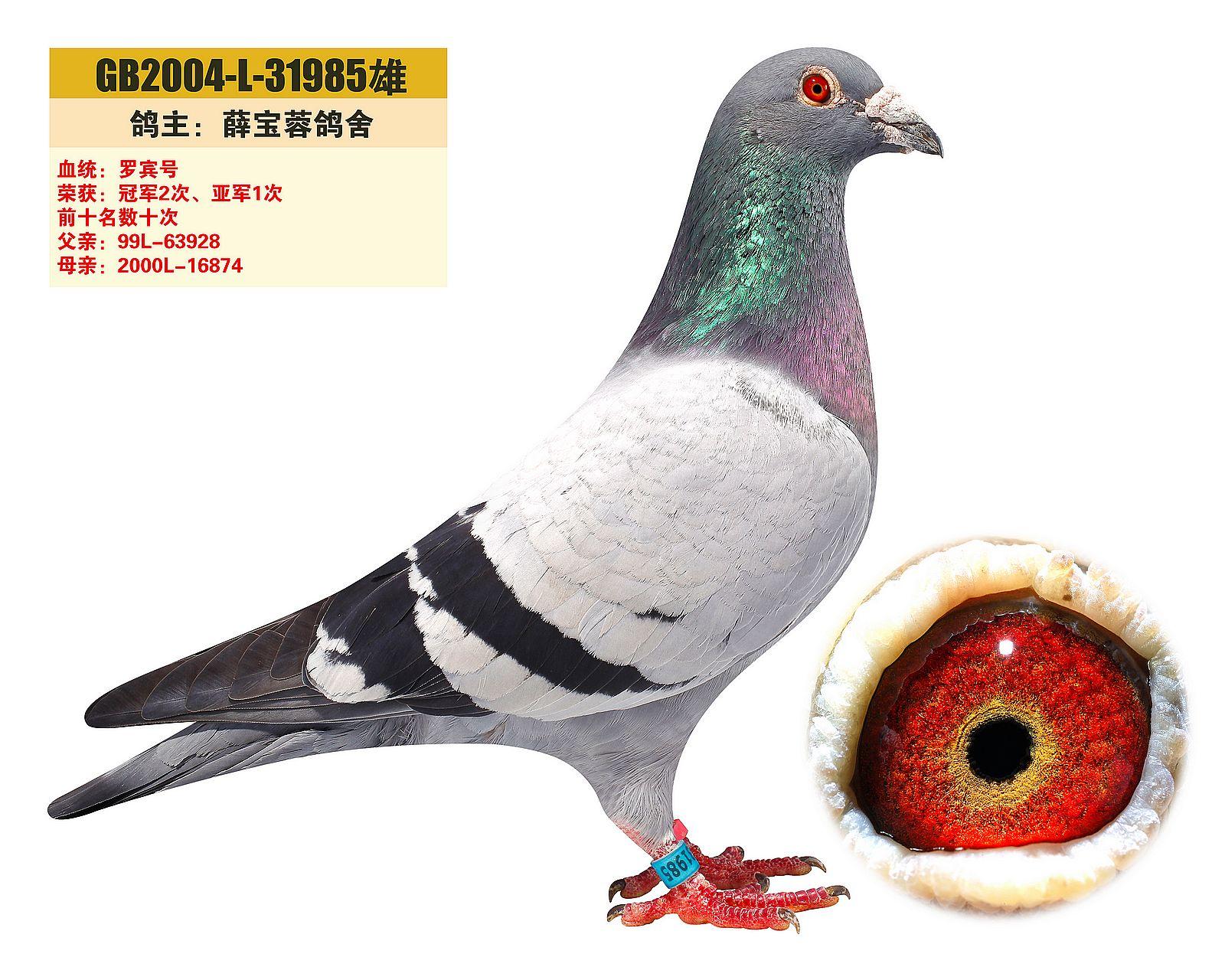 种鸽基都来源于天津邓文敏老师处,邓文敏的妻子和薛宝蓉老师也是难