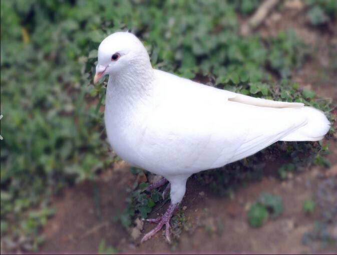 青蛙鸽鸽子鸟鸟类673_509让动物吃百吉饼图片